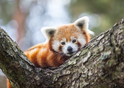 Du får se röda pandor och lära dig om vilka hot som finns mot arten.